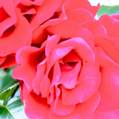 Raud rose i juli