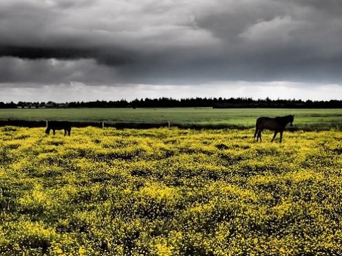 hestar i rapsåker
