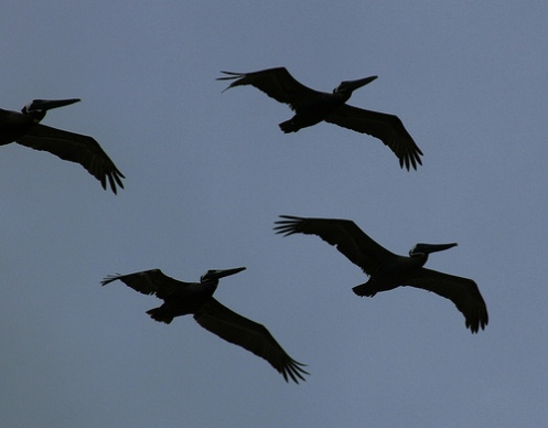 pelikanar Nags End