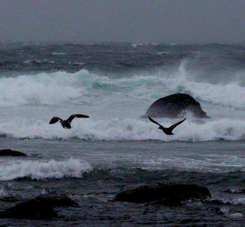 fuglar og grøn bølge Hå gamle 1.feb