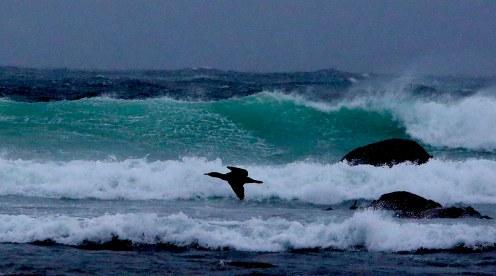 svart fugl og grøn bølge. Hå gamle